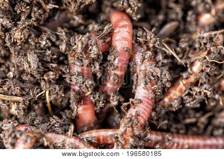 Macro shot of red worms Dendrobena in manure earthworm live bait for fishing