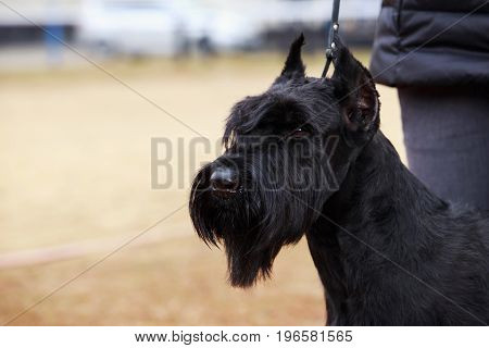 The dog breed Giant Schnauzer close-up outdoors
