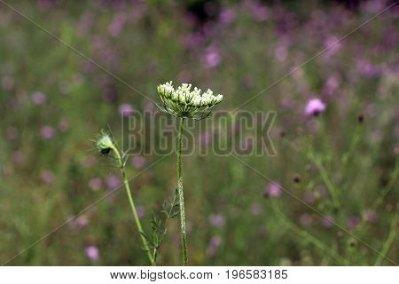 Macro close up view of Queen Anne's Lace with purple meadow in the background.