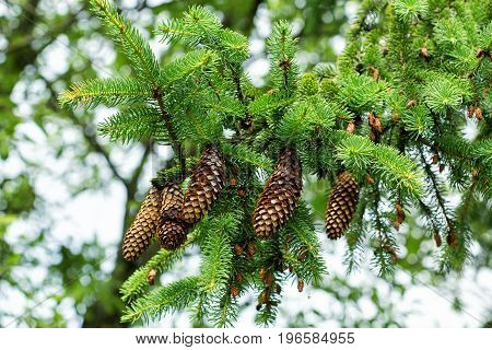 Branch of a tree with large open cones