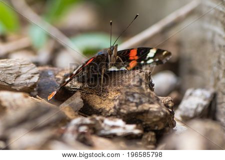 Red admiral butterfly (Vanessa atalanta) sitting on ground. Insect in the family Nymphalidae at rest with underside of wings visible