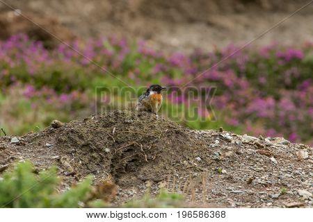 Beautiful Stonechat Bird (saxicola Torquata) Perched Near Coast