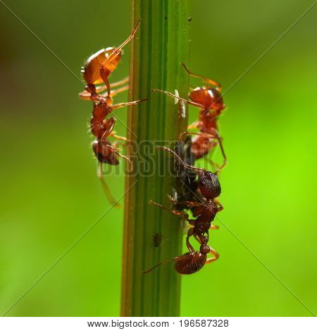 group of red forest ants on green plant in summer -  Macro image