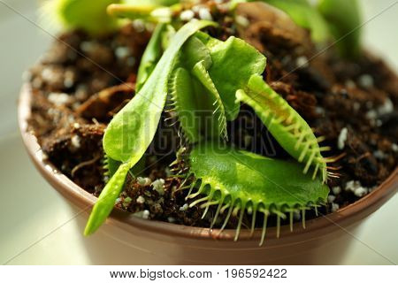 Dionaea muscipula in a pot