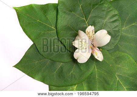 White flower Alstroemeria