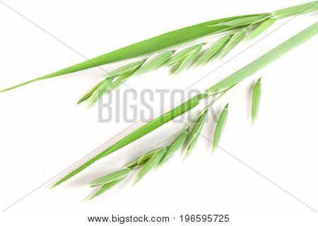unripe oat spike isolated on white background.