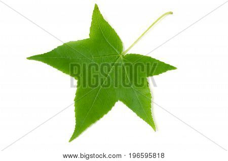 green leaf of Liquidambar styraciflua isolated on white background.