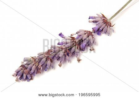 Twig of lavender isolated on a white background.