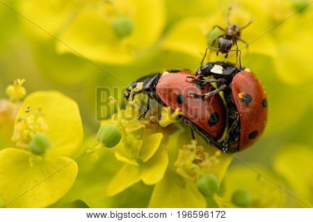 Mating Multicoloured Asian Ladybirds Ladybugs Harmonia Axyridis The Process Of Mating Ladybugs On Th