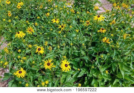Black Eyed Susans in the garden in the sun