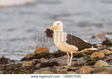 Great Black-backed Gull sampling seaweed on rocky shoreline