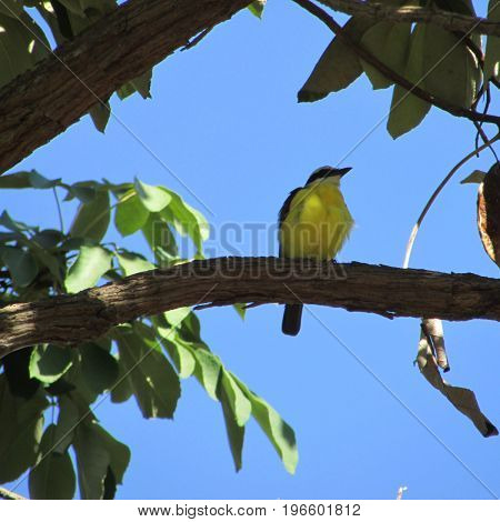 Bentivi bird in the Brazilian fauna of