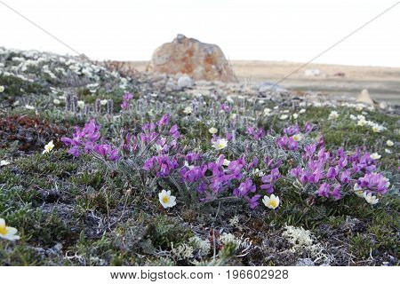 Arctic Oxytrope (Oxytropis arctic) in full bloom near Cambridge Bay