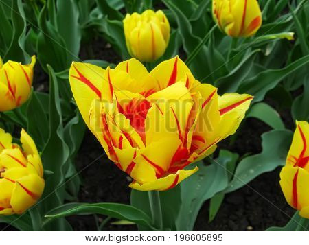 Spring landscape with flowers of yellow - red tulips of the Monsella sort. Beautiful floral background of a flowerbed of bright tulips.