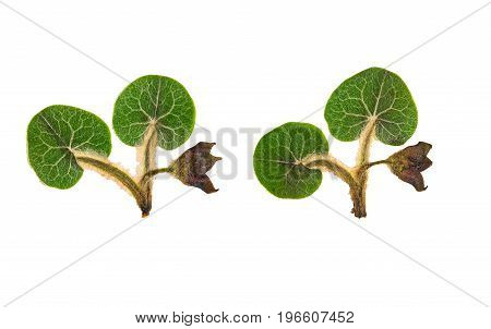 Pressed and dried flower wild ginger (asarum europaeum) isolated on white background. For use in scrapbooking floristry (oshibana) or herbarium.