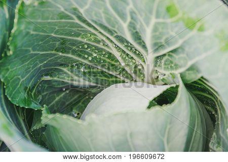 Dew On Cabbage. Fresh Cabbage.