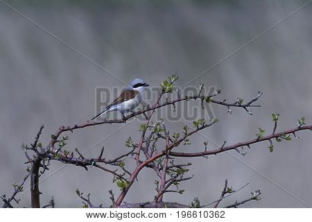 Red-backed shrike resting on a branch in its habitat