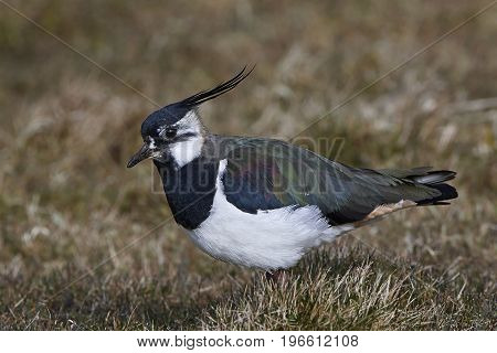 Northern lapwing standing on the ground in its habitat