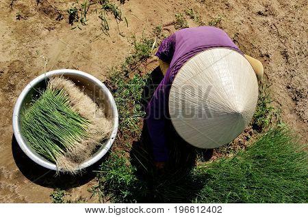 Farmers onion in the Tra Que village, Hoi An, Quảng Nam province, Viet Nam