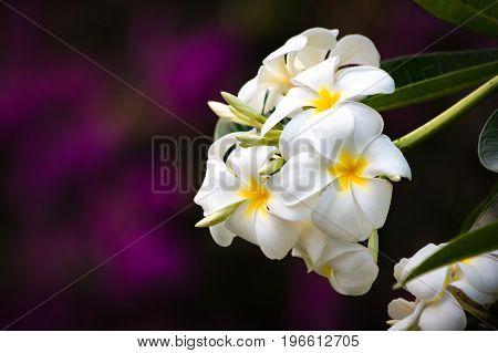 White Plumeria Blossom