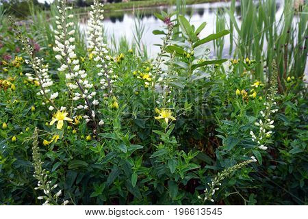 White wild indigo (Baptisia alba macrophylla) and perforate St John's wort (Hypericum perforatum) bloom together near a retention pond during June in Plainfield, Illinois.