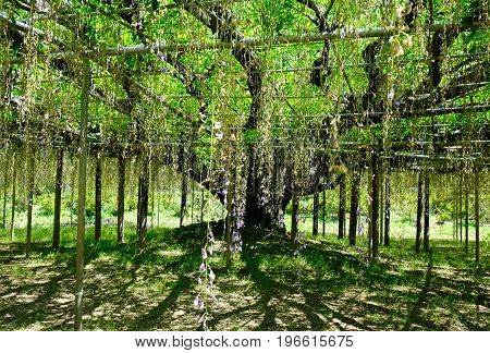 Wisteria Trees At Ashikaga Park In Japan