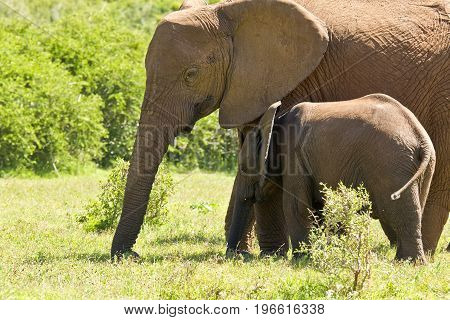Huge African elephant standing with its calf eating grass in bright sunshine