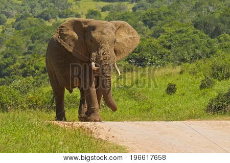 African male elephant walking down a road in bright sunshine