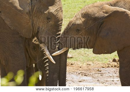 Two African elephants standing close together rubbing their heads together showing some affection poster