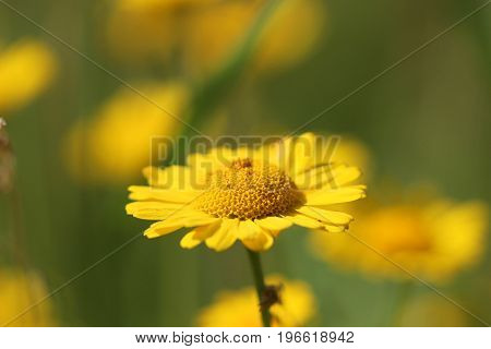 Yellow marigold flower on a green background
