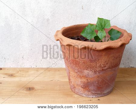 Ivy gourd growing in clay pot on wooden floor and old white cement wall background, homegrown vegetable of Thailand used for food ingredients