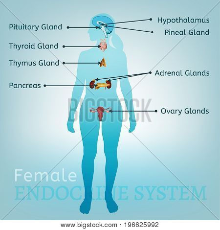 Female endocrine system. Human anatomy. Human silhouette with detailed internal organs. Vector illustration isolated on a light blue background.