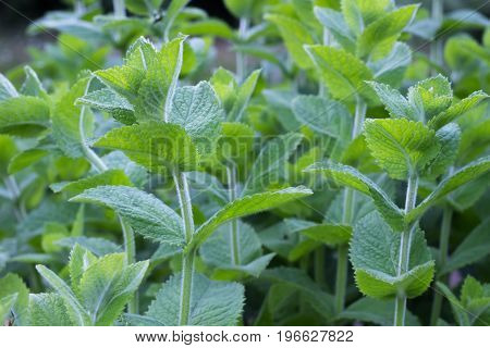 Mint leaves background. Peppermint leaves of mint on green background. Closeup of fresh mints leaves texture or abstract background.