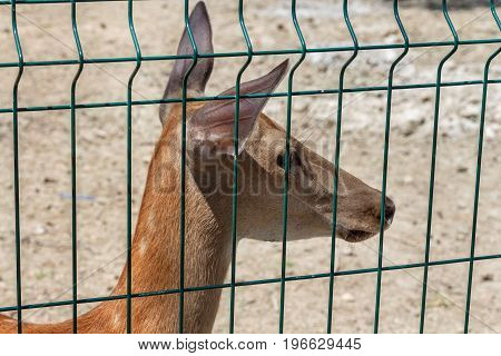 A young deer in a cage is looking aside.
