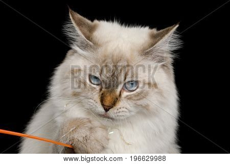 Funny Portrait of Neva Masquerade Cat with Blue Eyes Curiosity Looking and catch a toy Isolated on Black Background