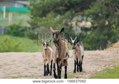 Group of cute happy goats on a walk - russian village, telephoto