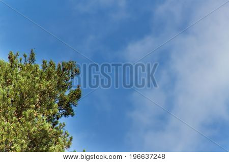 Pine tree and cloudless blue sky. Summer clear sky. Branches of pine