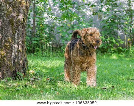 Airedale Terrier is a strong and muscular dog of medium size, with brown wool on the nature.