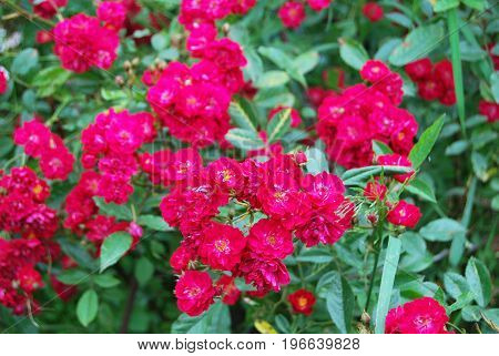 Rose bush with bright red small flowers