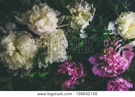 Natural floral pattern, texture and background. White and pink peony flowers over dark background, top view, selective focus. Summer, Valentine's or Woman' s day greeting card