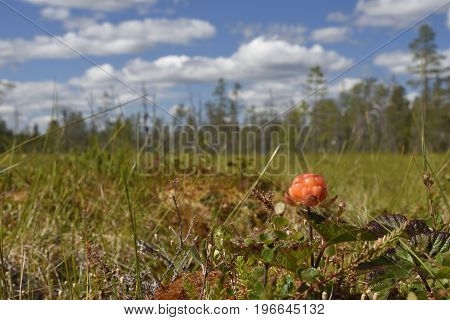 Closeup of a Cloud berry on a morass with a blue sky in background picture from the North of Sweden.