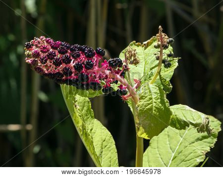 American crib (Phytolacca americana) is an ornament of gardens.