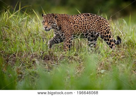 American jaguar in the nature habitat, panthera onca, wild brasil, brasilian wildlife, pantanal, green jungle, big cats
