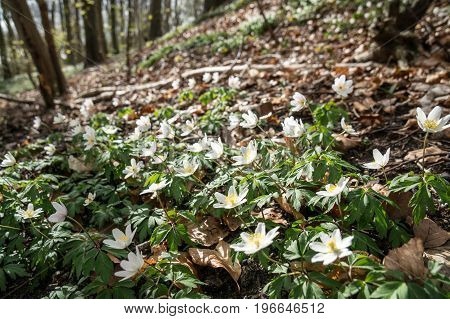 Spring beams beautiful white anemones popping up the forest floor between winter's remains of brown autumn leaves
