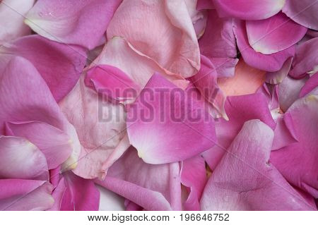 Pink rose petals as a background texture