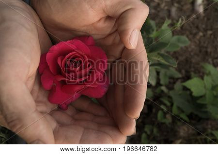 Rose flower in the female hands in the garden. Care or attention concept.