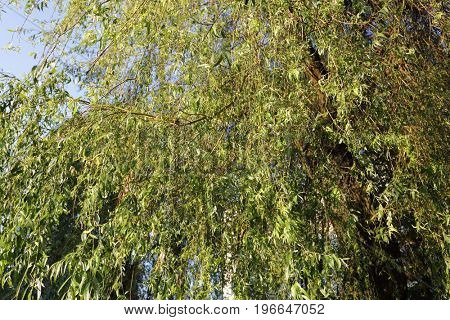 Weeping willow fronds and leaves.