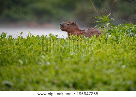 capybara in the nature habitat of northern pantanal, biggest rondent, wild america, south american wildlife, beauty of nature, giants