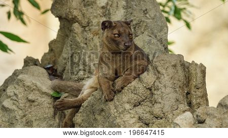 Closeup view of fossa standing on top of the rocks