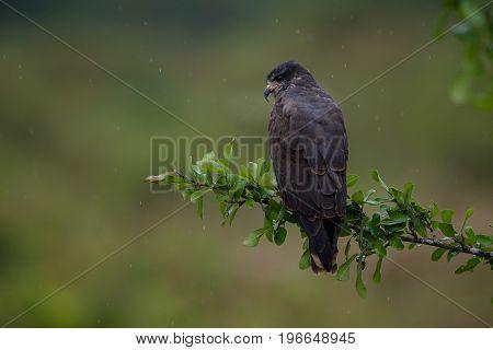 bird of pantanal in the nature habitat, wild brasil, brasilian wildlife, pantanal, green jungle, south american nature and wild